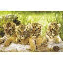 Four Tiger Cubs (01245)